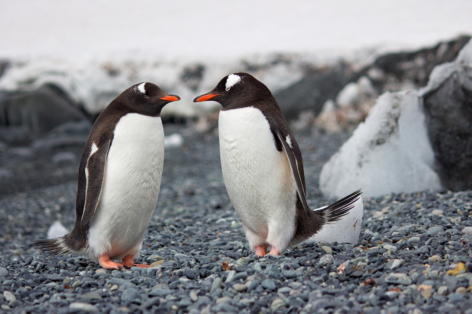 selective-focus-photography-of-two-penguins-689784